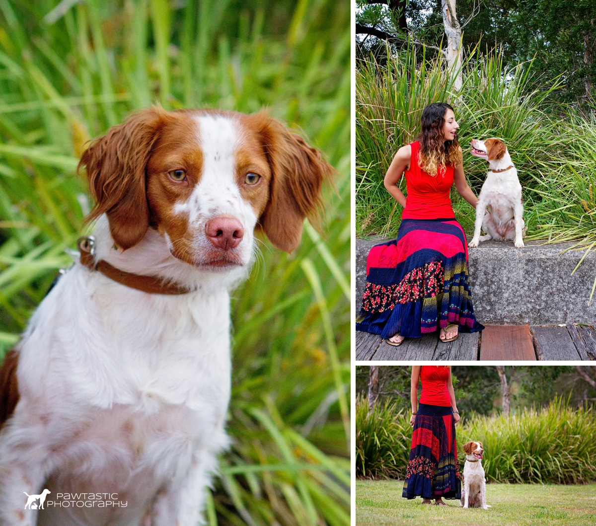 Brown and white coloured Brittany dog called Zoe fixes her attention on the birds and other dogs at Sydney Park while getting her professional pet photographs taken with Pawtastic Photography.