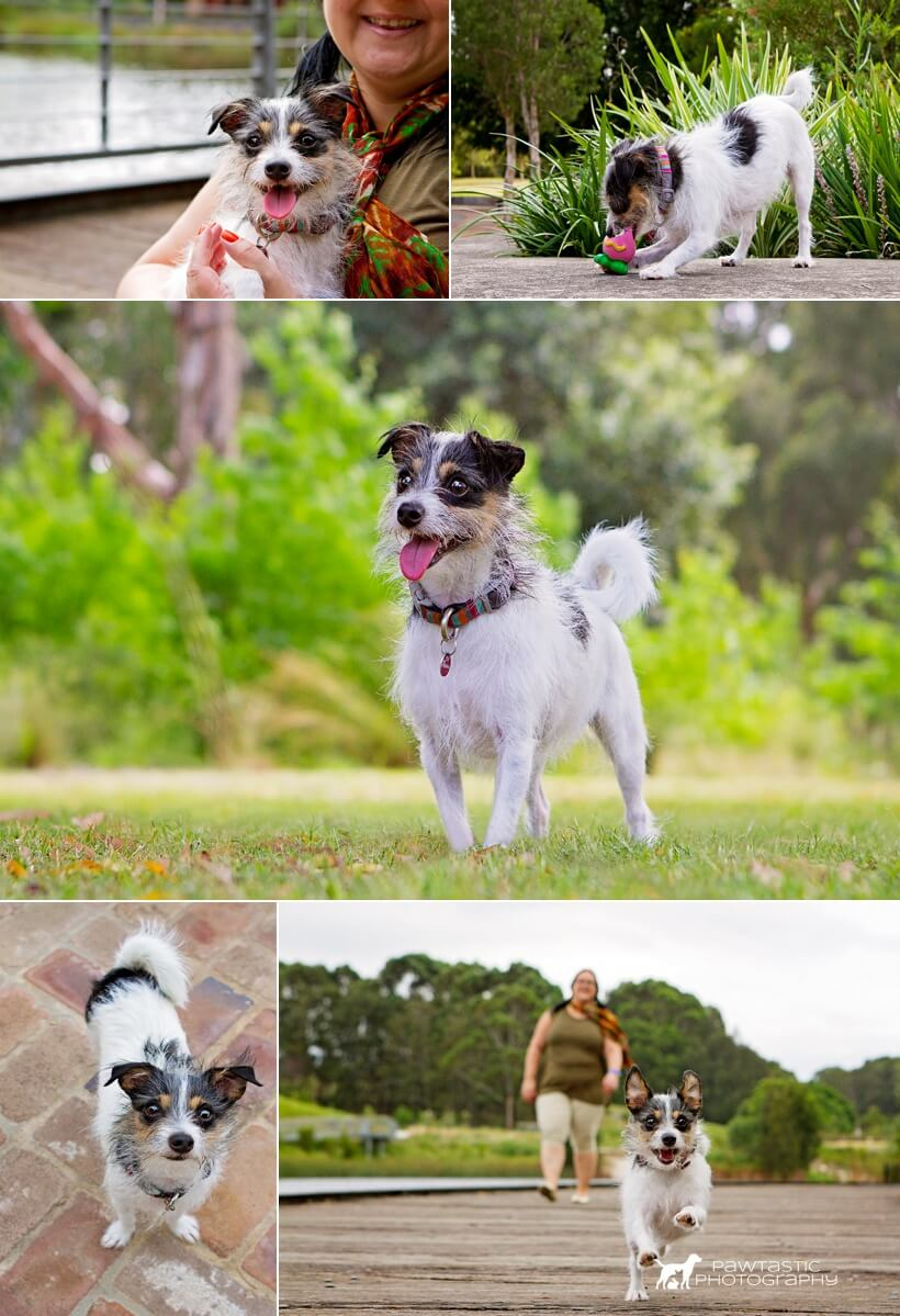 See cute cuddles and running leaps from this pint-sized dog, a chihuahua cross who was photographed by Pawtastic Photography, a Sydney based pet photographer.