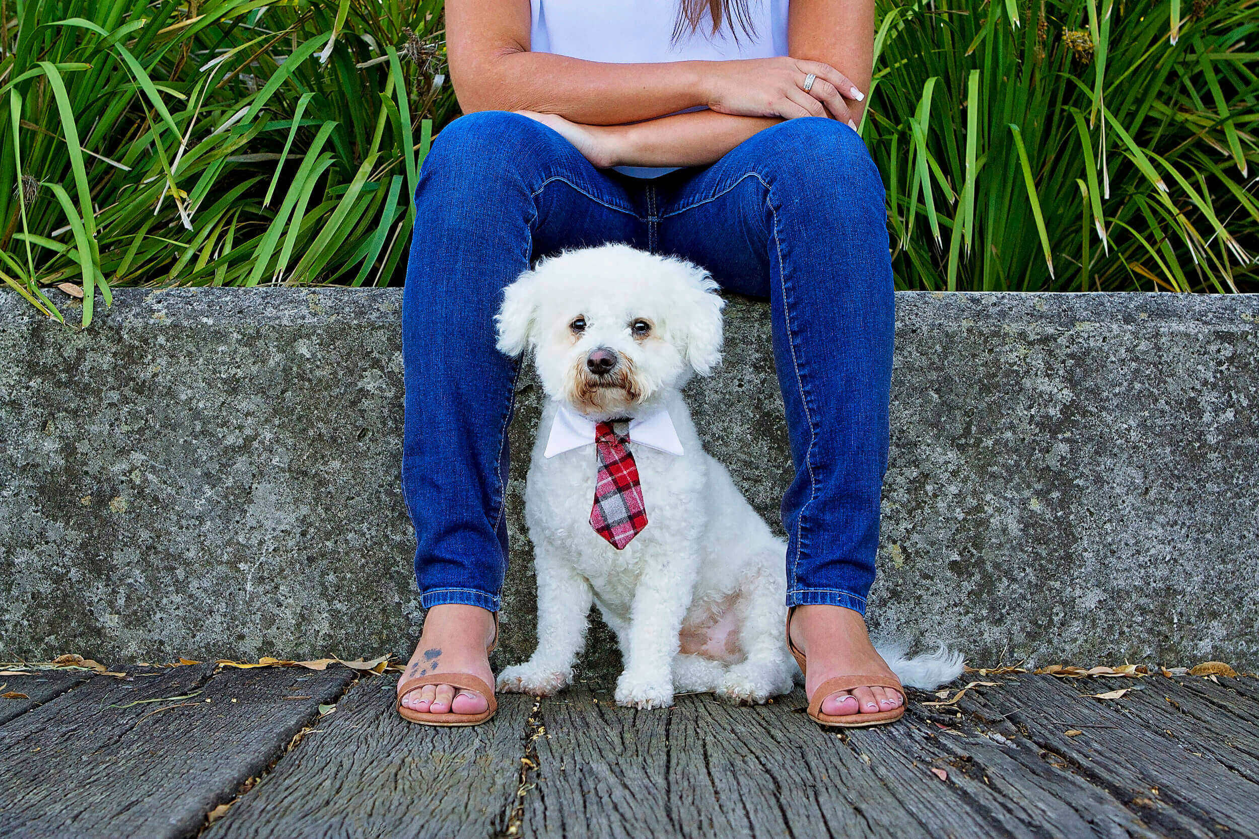 A shy Bischon Frise dog poses for the camera between his owners legs during a pet photography session with Sydney based photographer, Pawtastic Photography