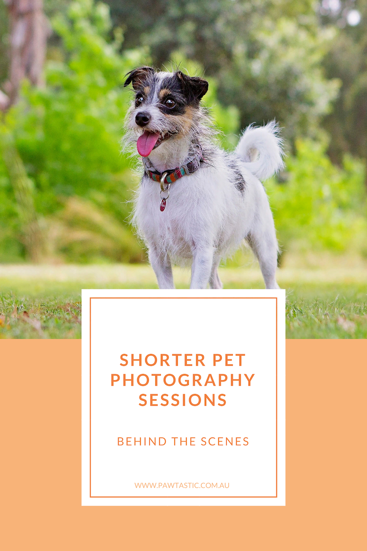 Get to see behind the scenes of a shorter pet photography session or Petite Session, at Pawtastic Photography, a Sydney based pet photographer. See a full gallery of images from a previous client of Pawtastic Photography.