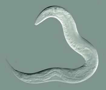 Caenorhabditis elegans   , adult hermaphrodite    Bob Goldstein, UNC Chapel Hill    http://bio.unc.edu/people/faculty/goldstein/    - Own work