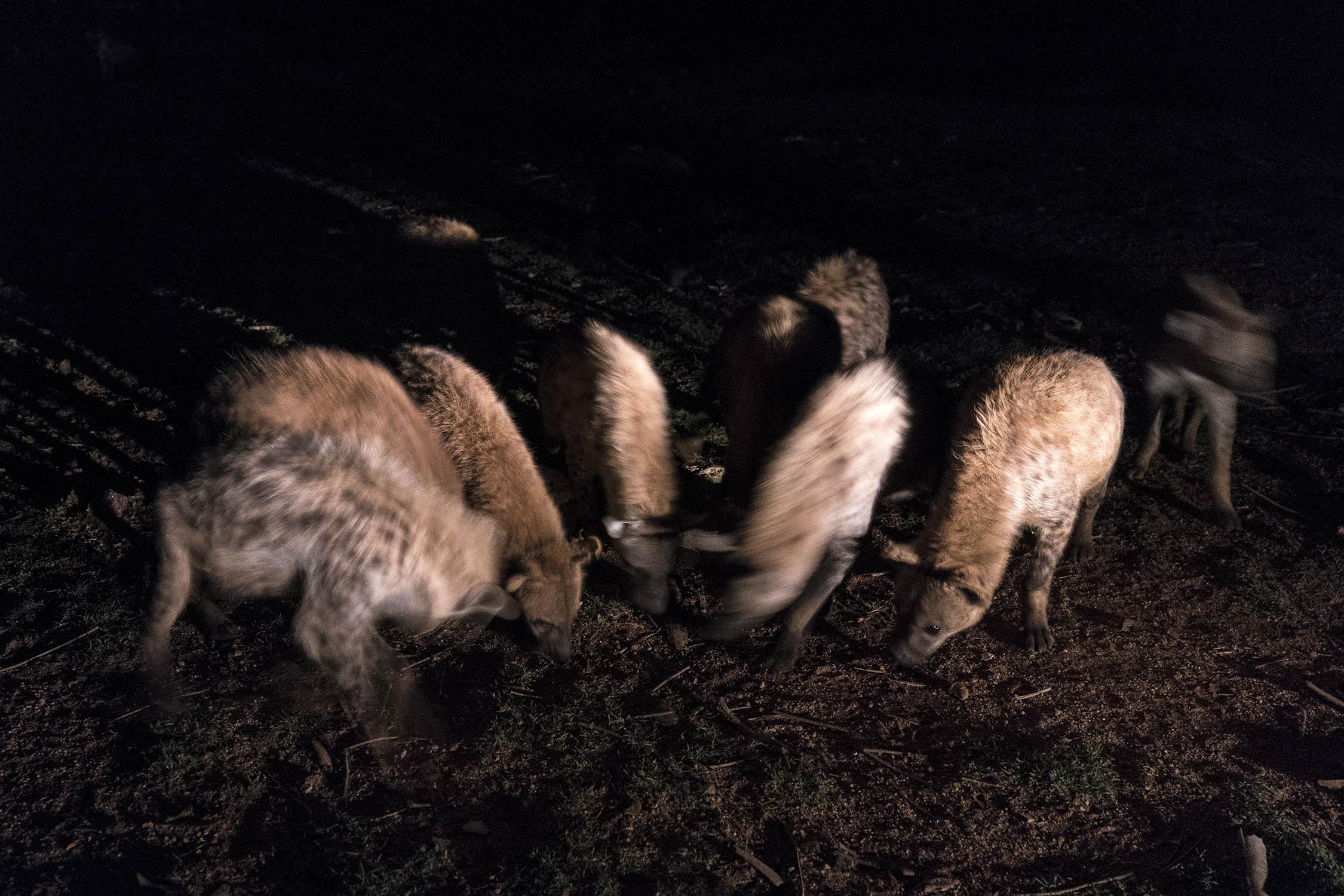 Hyena_04530.jpg