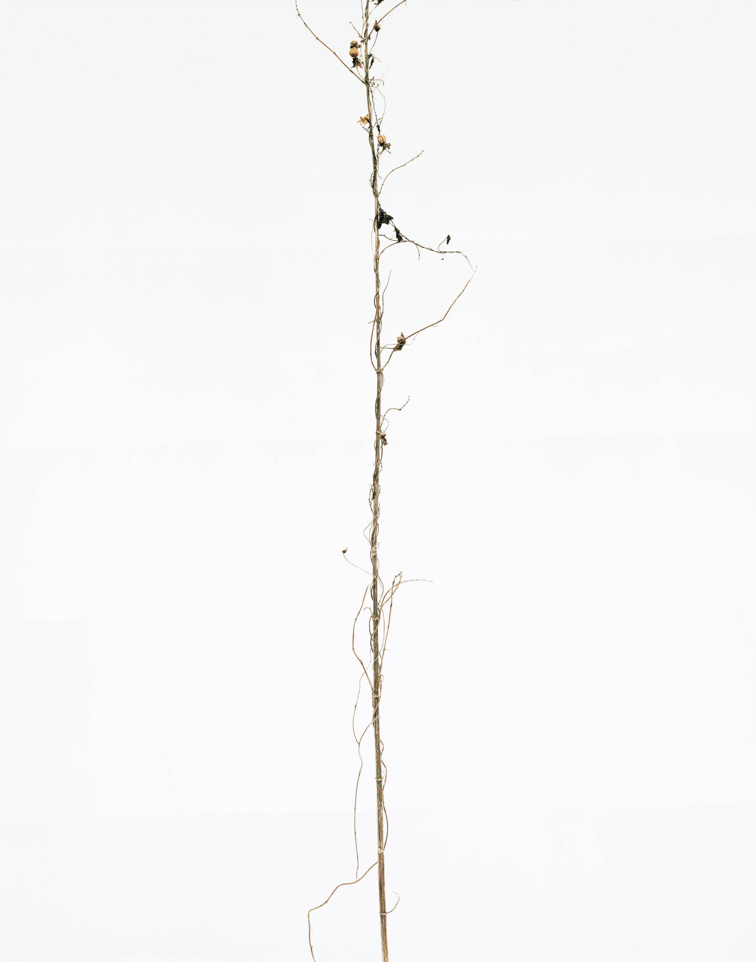 """© Éric Poitevin, """"Sans titre"""", de la série """"plantes sèches"""", 2014."""