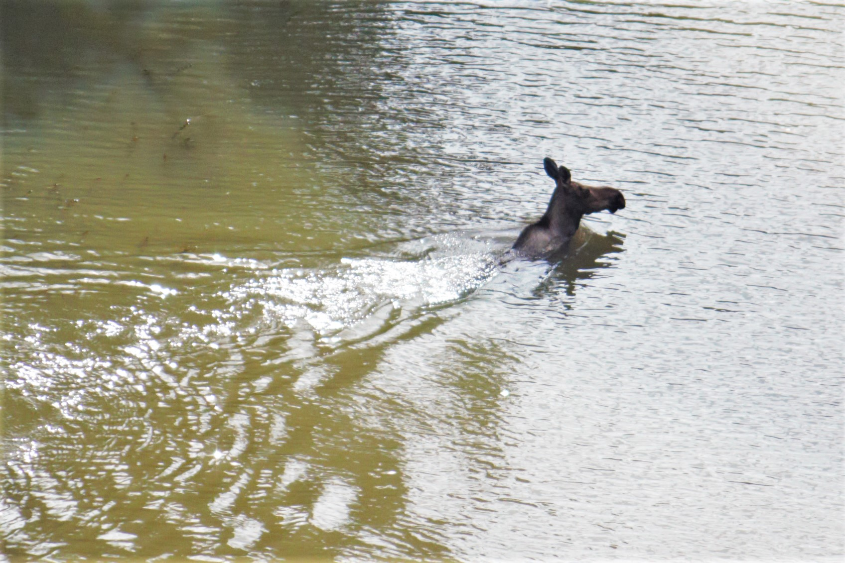 Moose_swimming.jpg