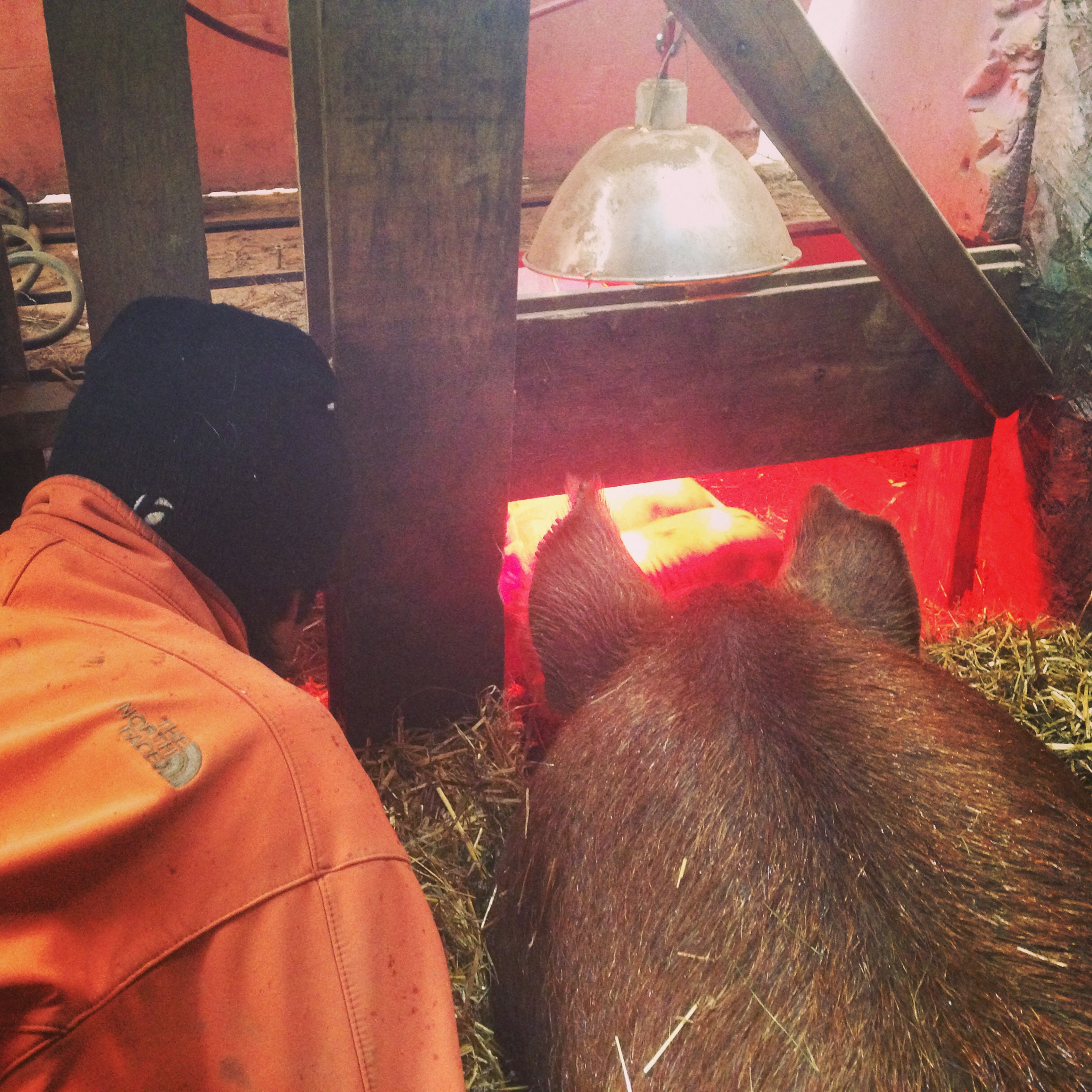 Daisy keeping a watchful eye on her piglets and allowing Josey to take a peek.