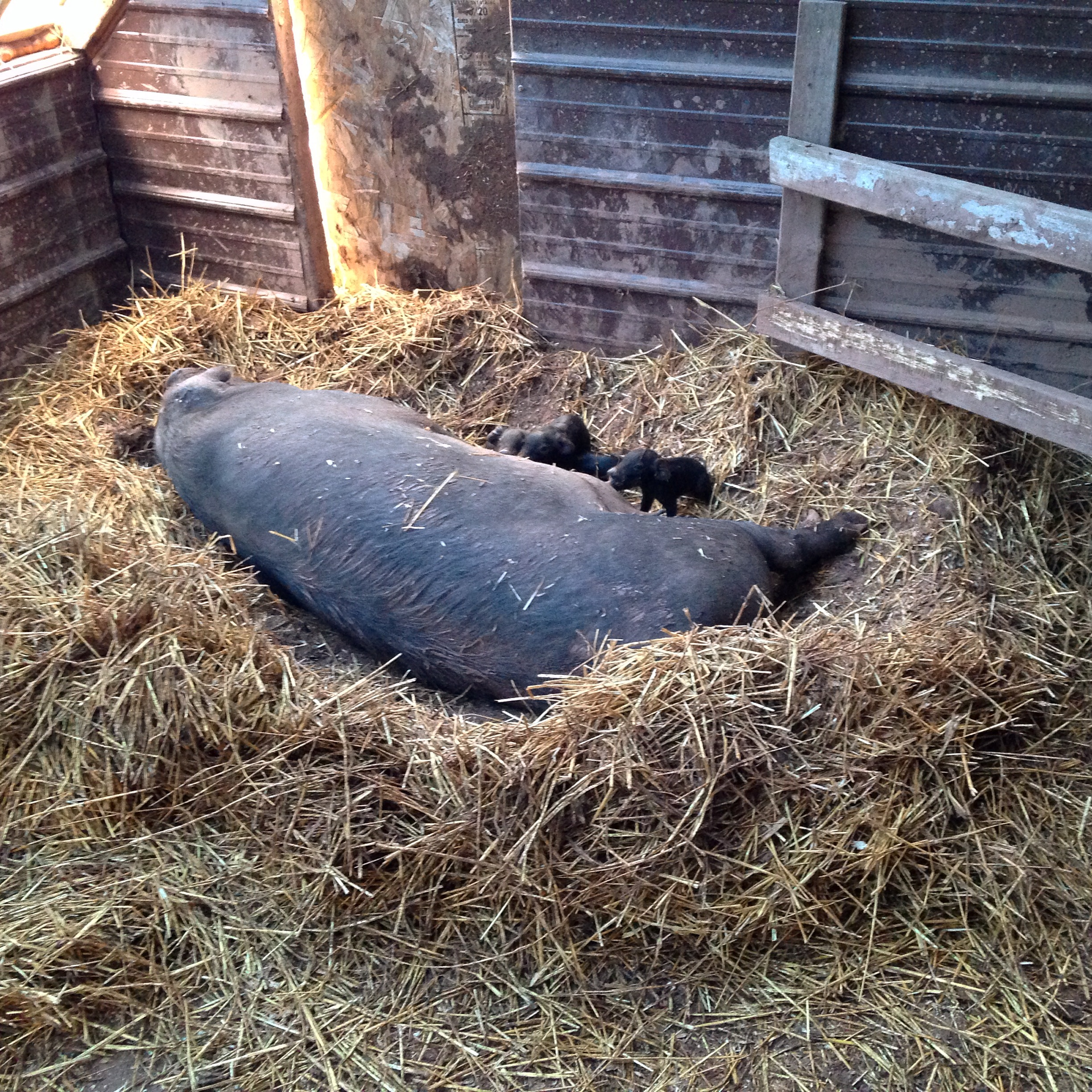 """Sows build """"nests"""" to help keep their piglets close."""