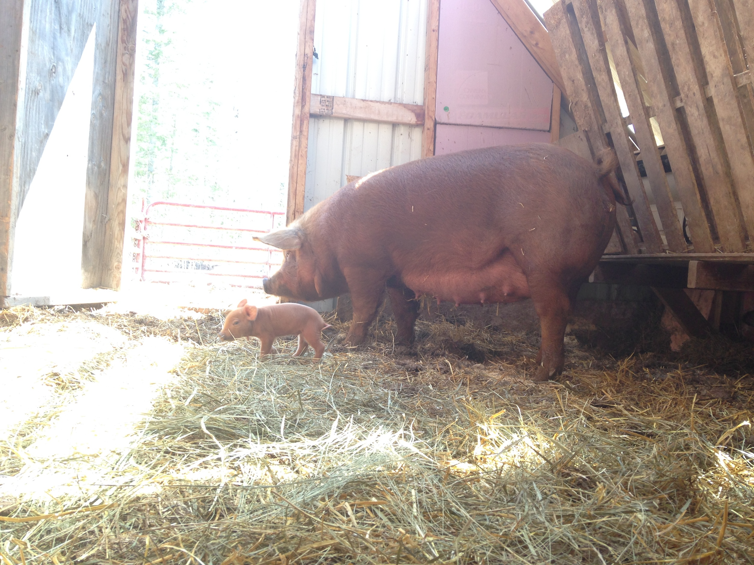 Sows are gentle giants...