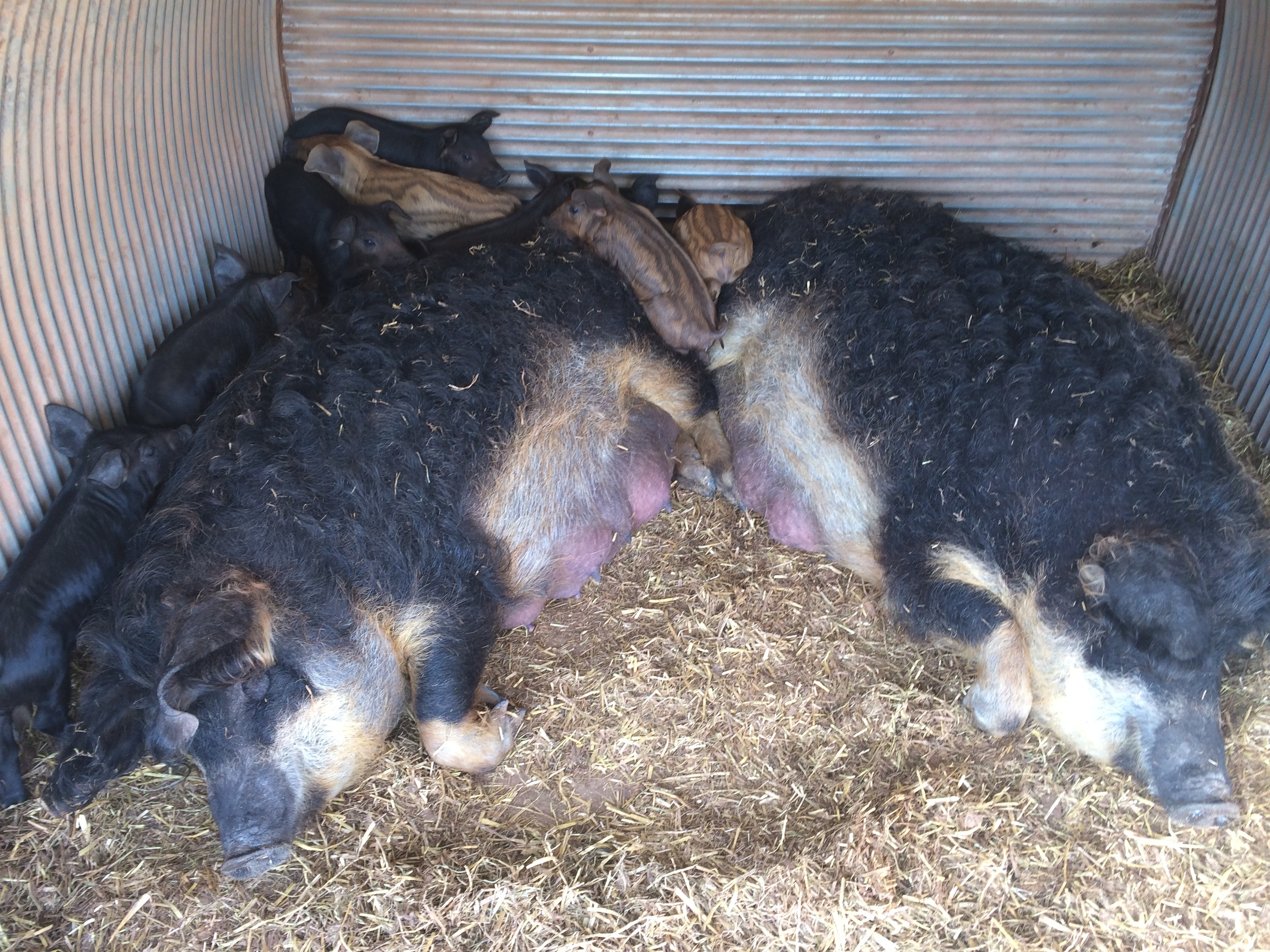 Lollipop and Jellybean with their piglets.