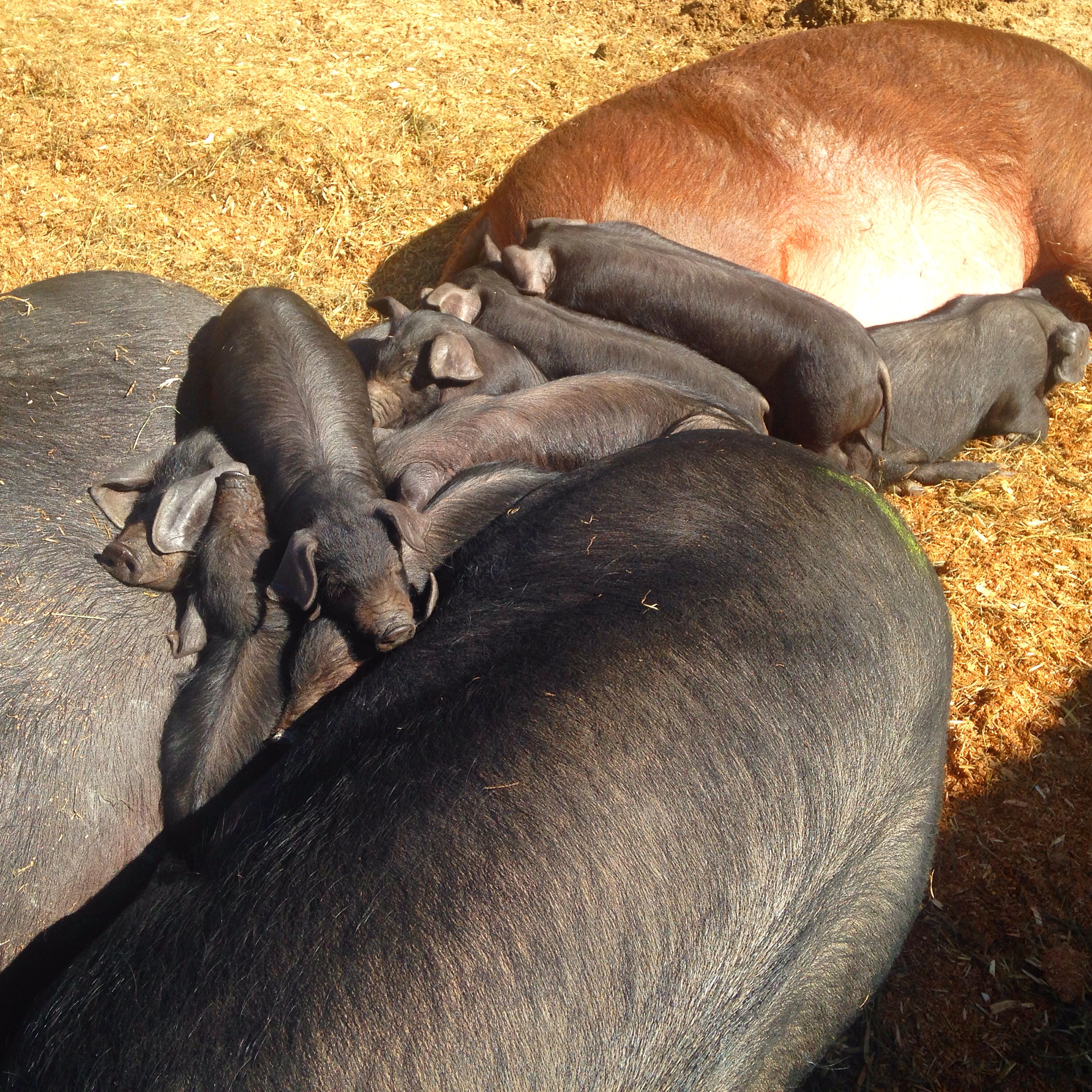 Piglets in a pile protected by their Mommas!