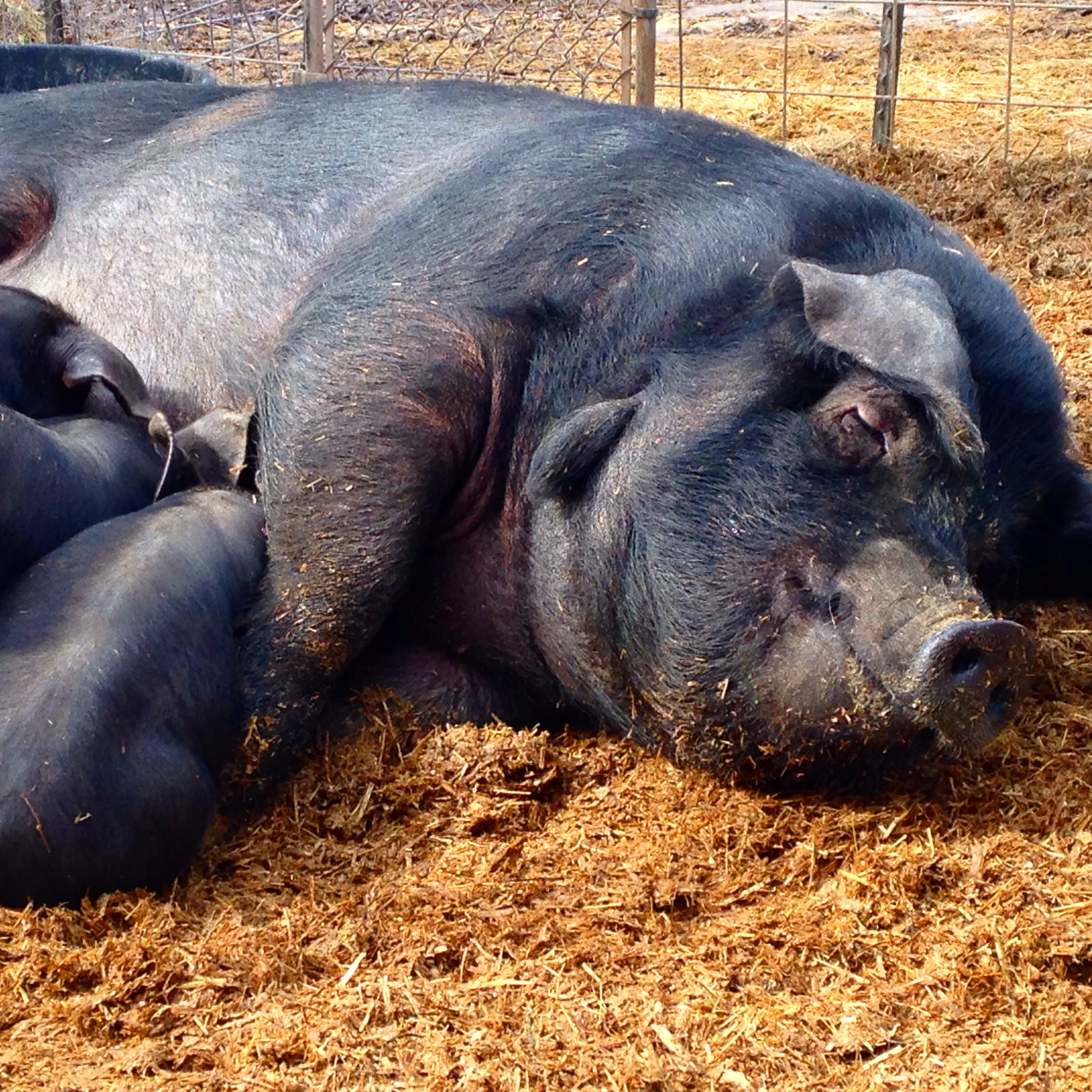 Petunia likes to feed her piglets for an EXTENDED period of time...