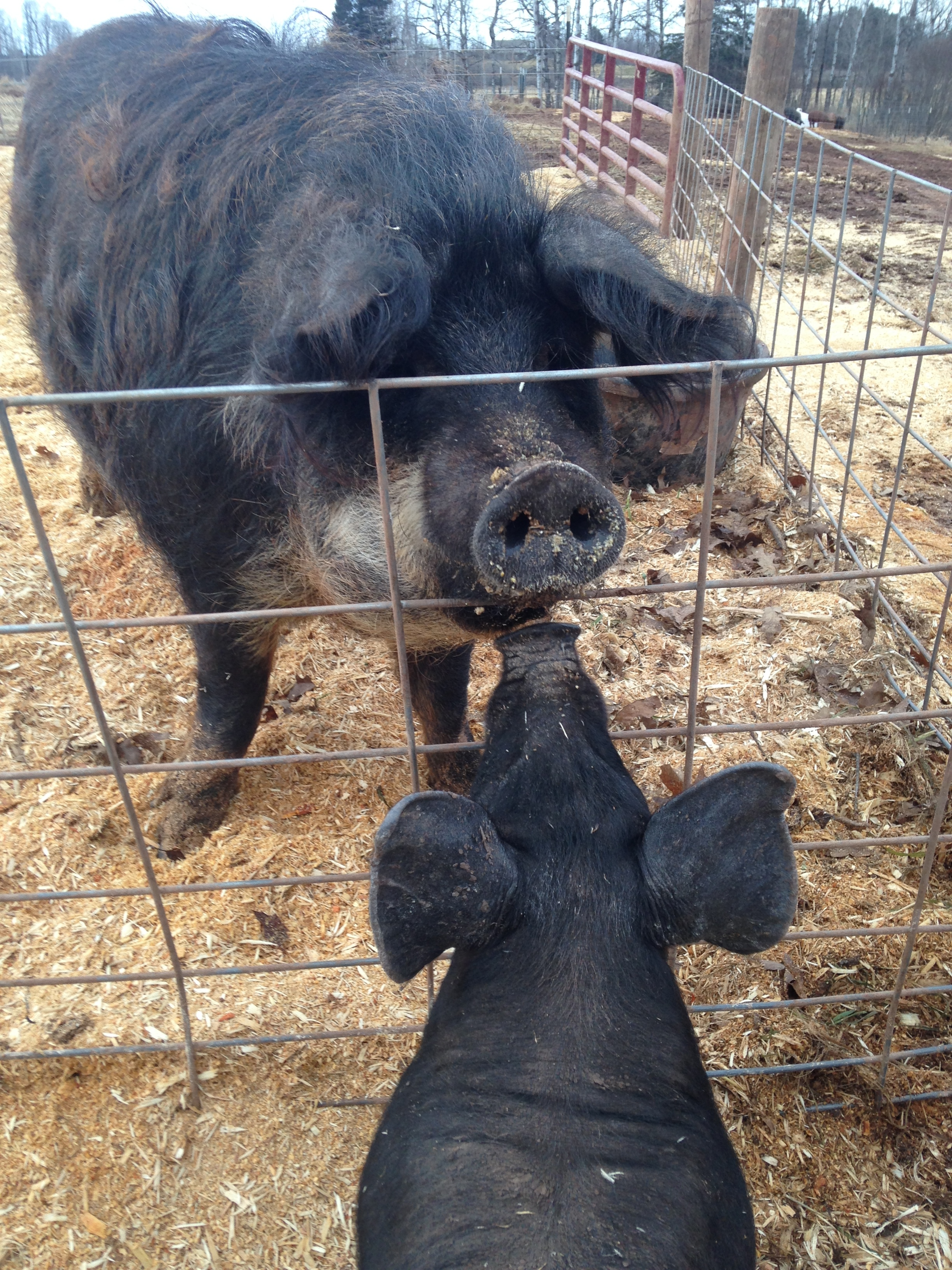 Blueberry checking in with her weaned piglet.