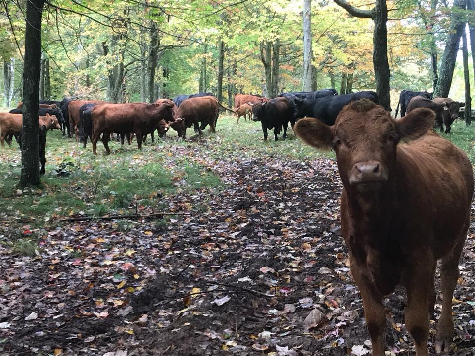 Yker Acres Dexter Cows fall 2017.jpg