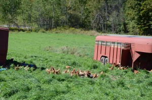Repurposed trailers serve as chicken coops