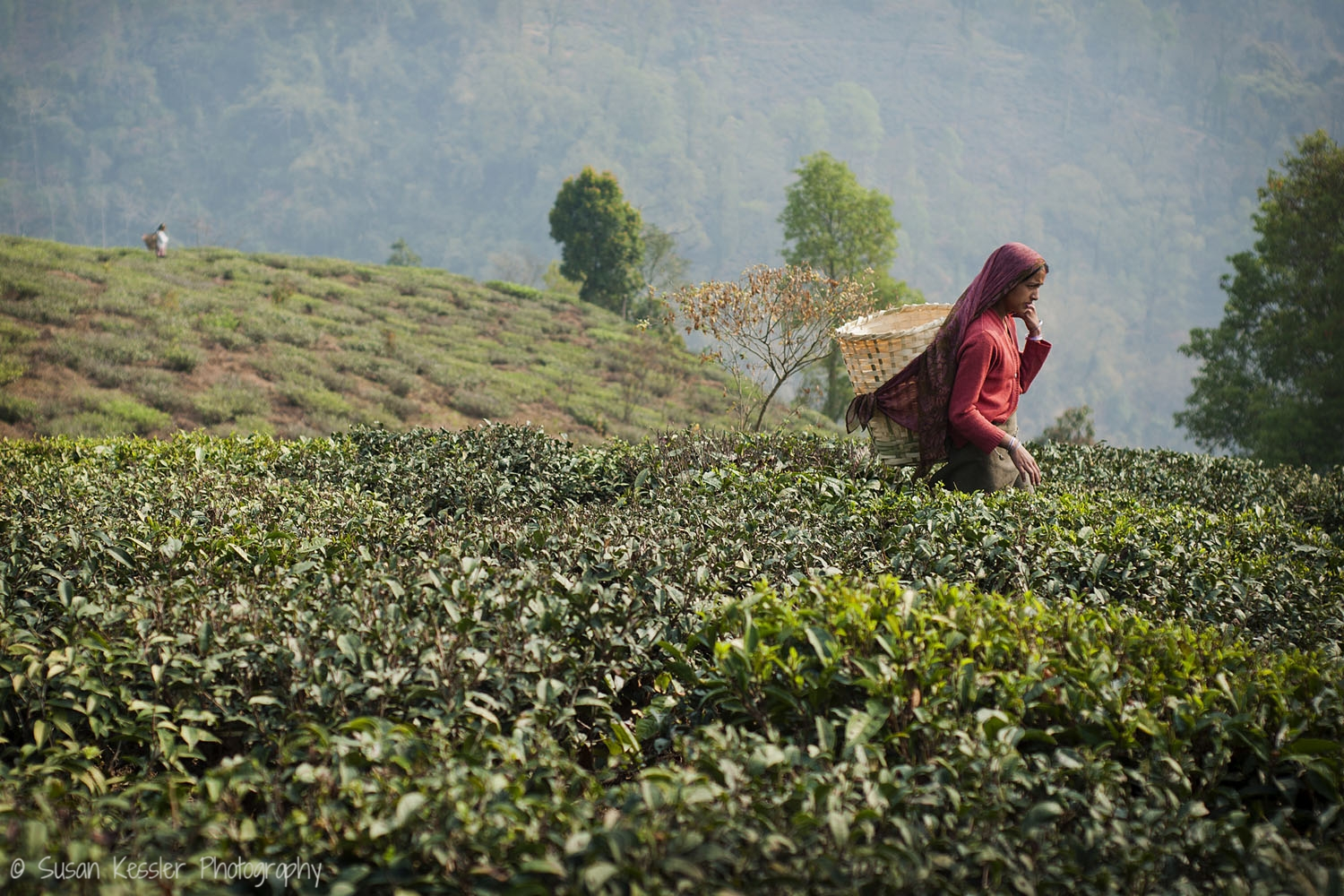 Woman in Tea Fields