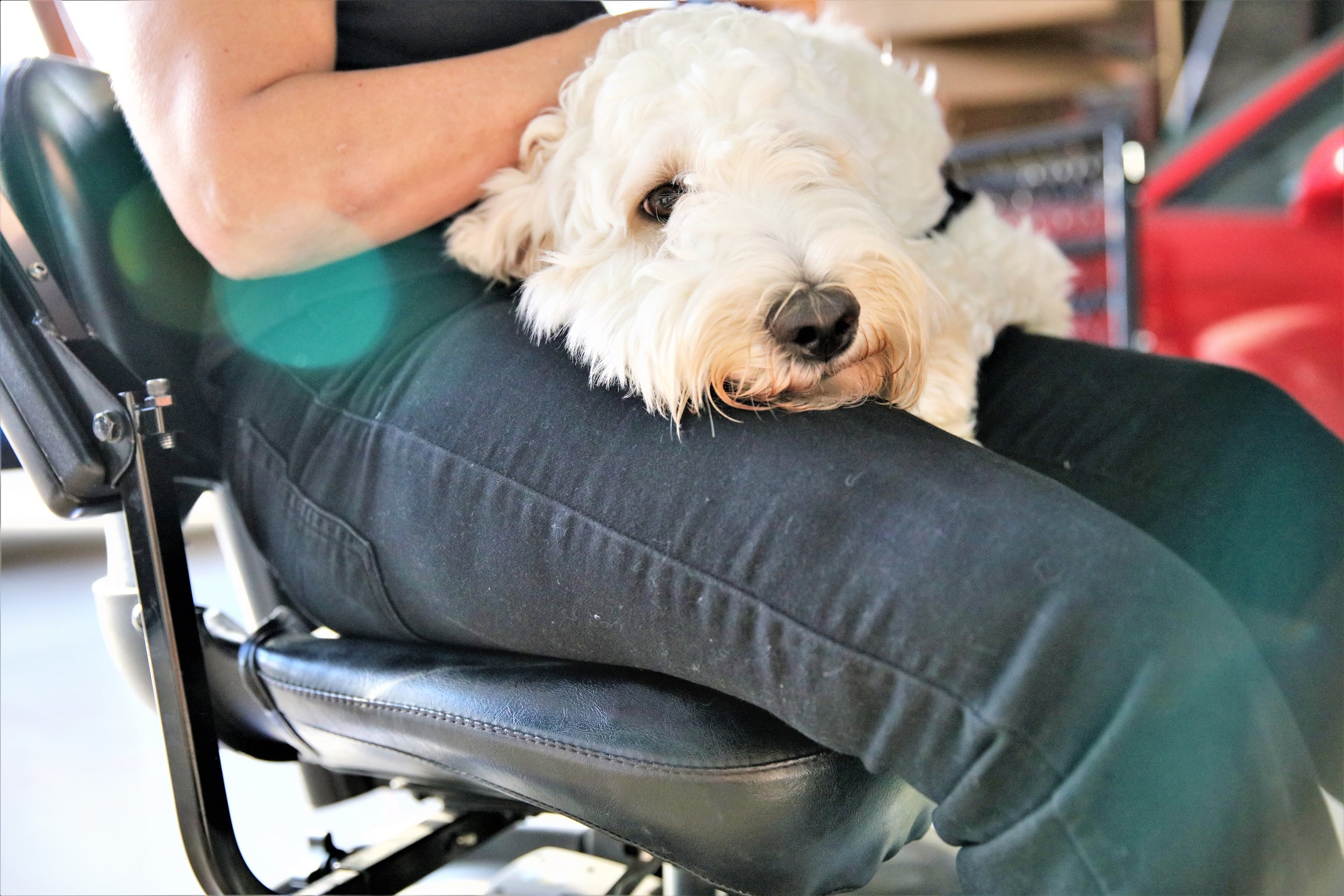 A white service dog puts her head on her handler's lap while the handler sits in her wheelchair.
