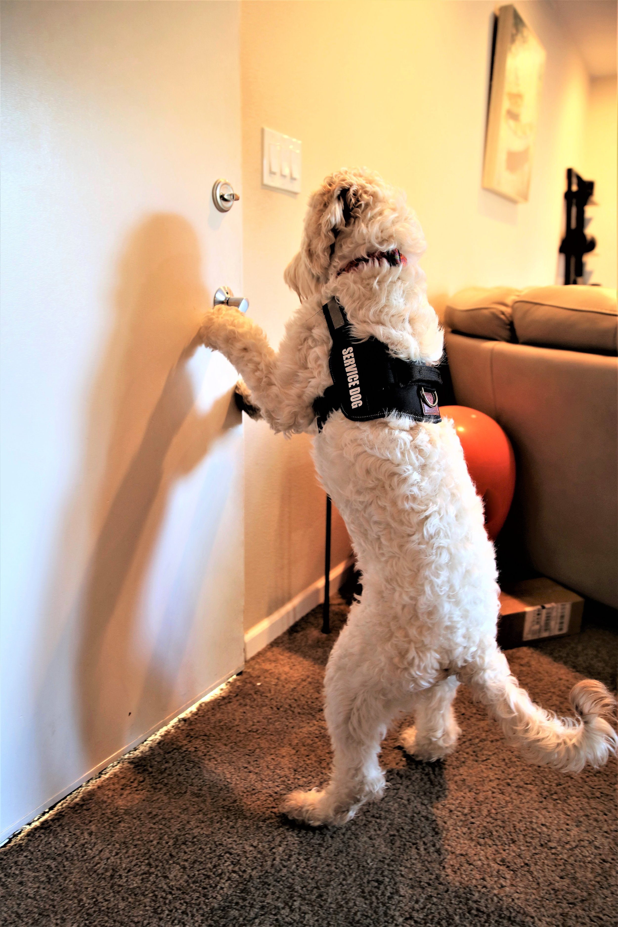 a service dog opens the door.  Photo by Cheyanne Richert.