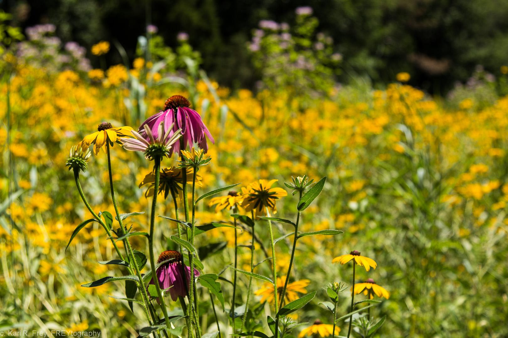 The prairie along Magnolia Avenue has a variety of rich flowers, including little bluestem, milkweed, wild bergamot, purple coneflower, and black-eyed Susan.