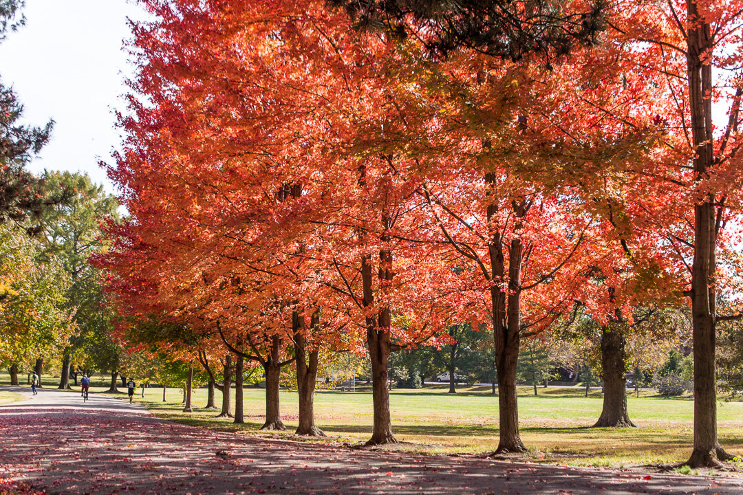 Red maple row