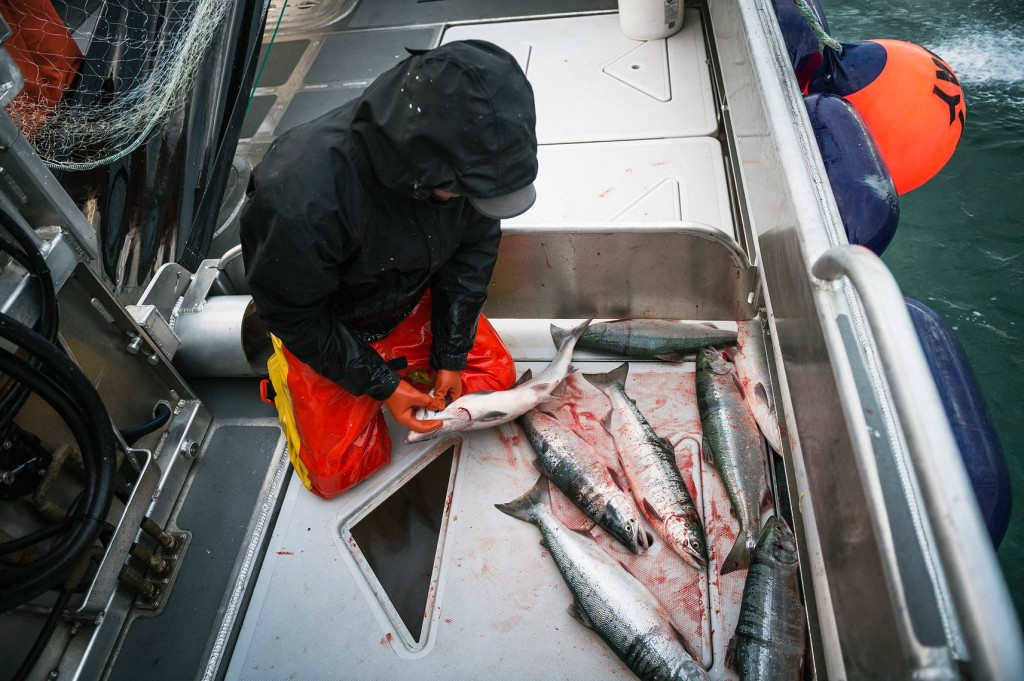 "Careful handling ensures that Bristol Bay's salmon retain absolute peak flavor. In this photo, a deckhand makes a quick incision to allow the sockeye to bleed out prior to dropping it through the deck hatch into a holding tank of refrigerated seawater. A ""best practice"" in seafood care and handling, bleeding is now widespread in the Bristol Bay fleet."