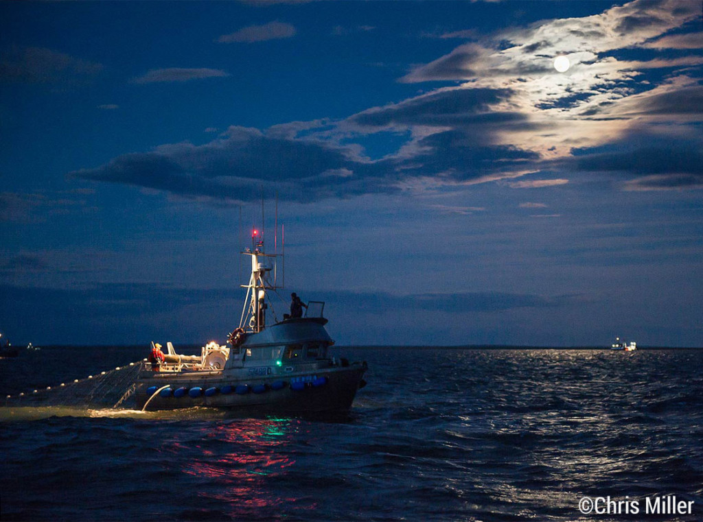 Chris Knight, on the F/V Selma, makes a set at night on Egegik's South line illuminated by moonlight. The beautiful sockeye he was catching when this picture was taken are headed to America's dinner plates as we speak. Maybe yours!