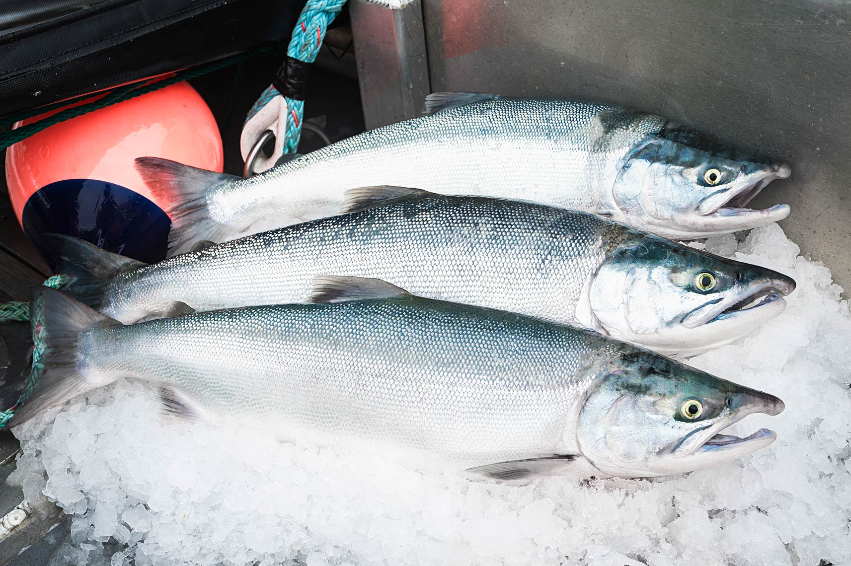 Three bright and beautiful sockeye rest on a bed of ice   before going into the holds.