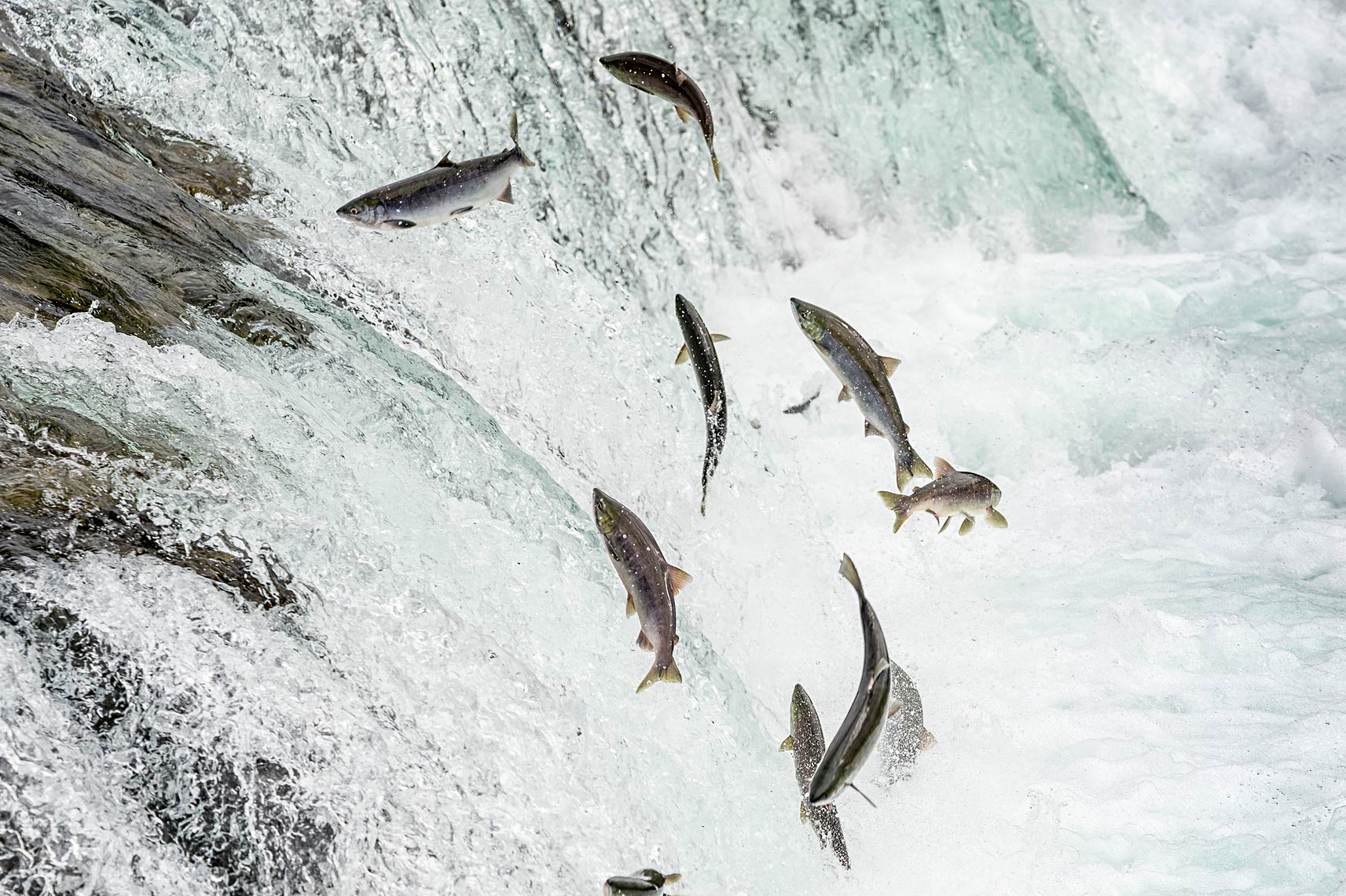 Sockeye salmon attempt to jump over Brooks Falls in Katmai National Park.