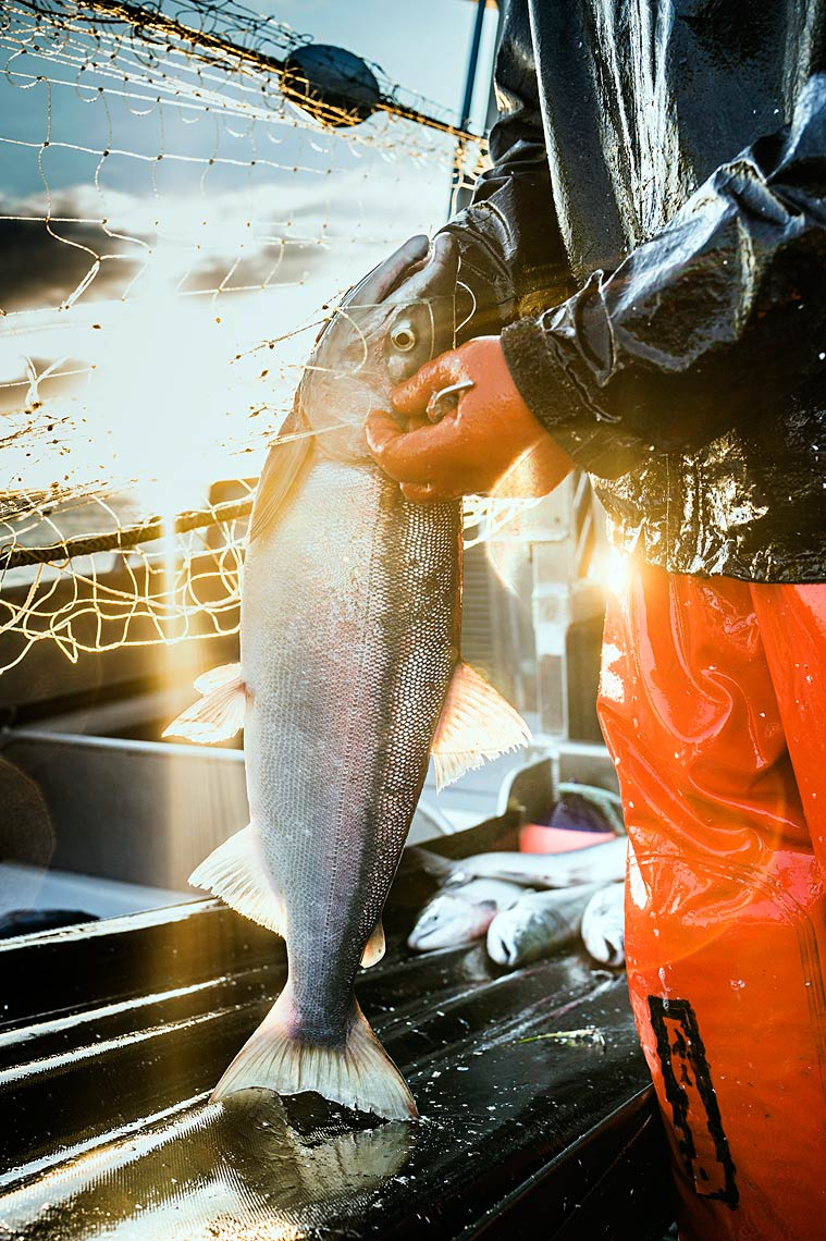 A sockeye is picked as it comes aboard the F/V Icy Bay.