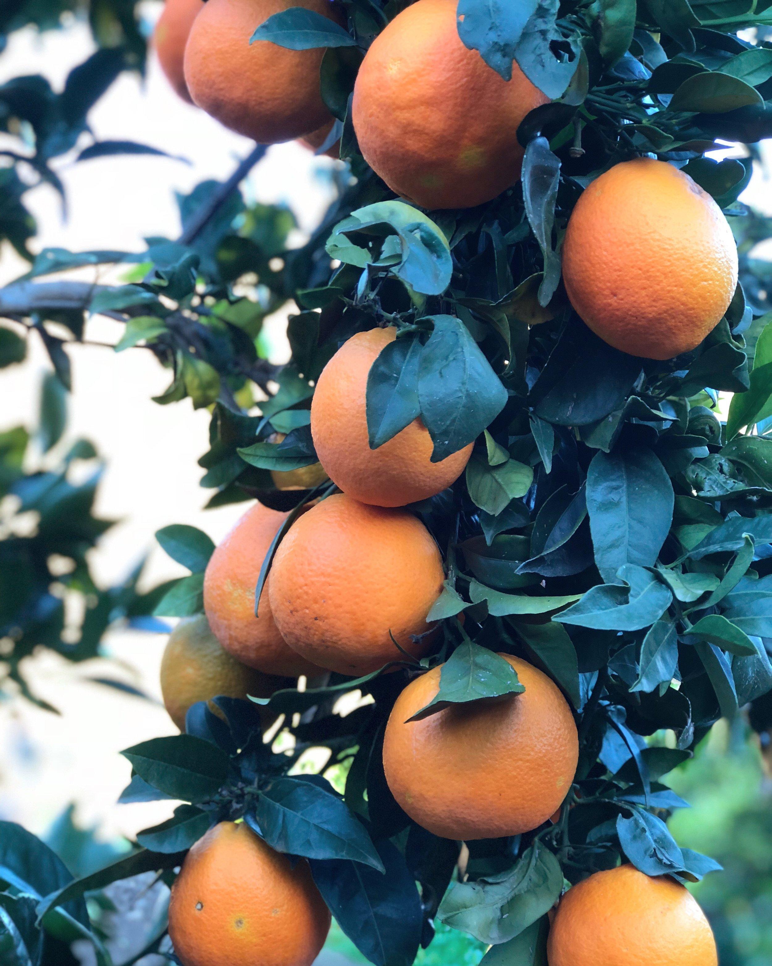 Orange grove at Agritourismo Bergi