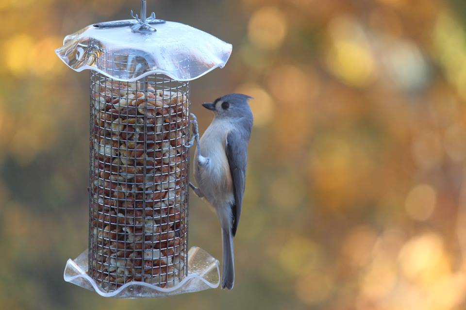 Tufted Titmouse on shelled peanut feeder. By S. Poe