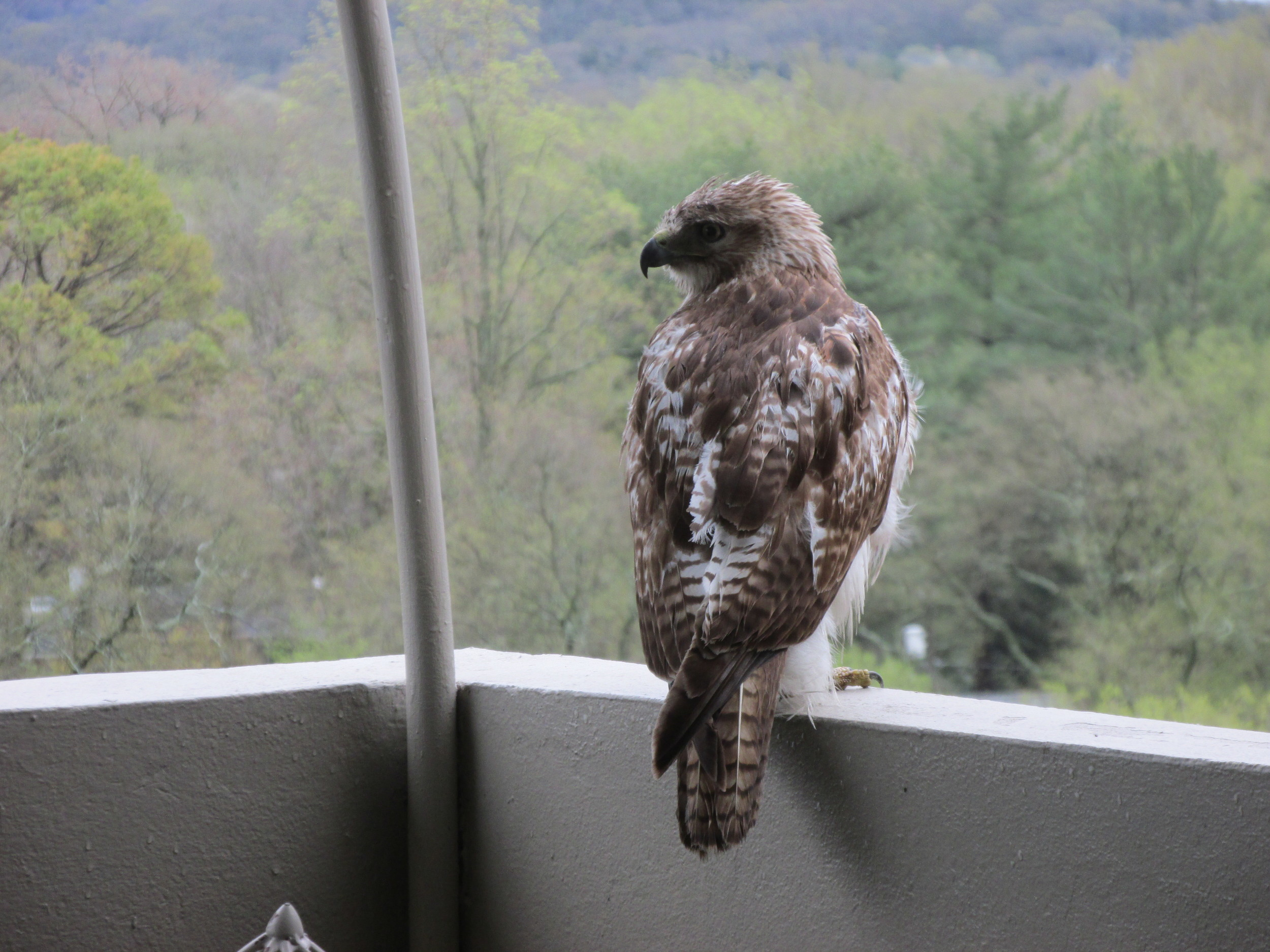 Red Tailed Hawk on the 10th Floor of Belle Meade tower. By Ruth Warner.