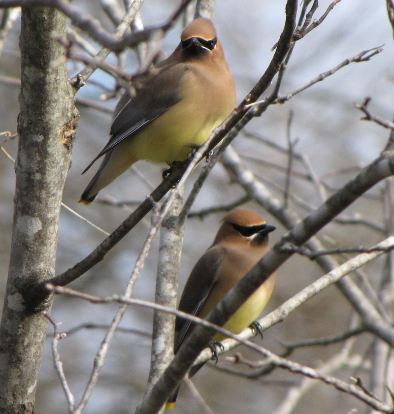 Cedar Waxwings Photo by Jan P.
