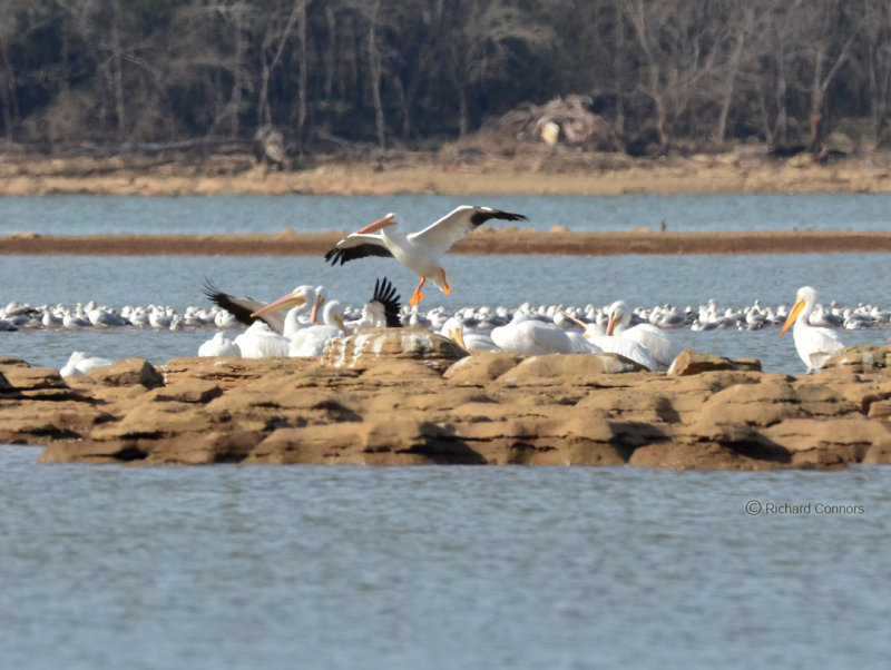 White Pelicans Photo by Richard C.