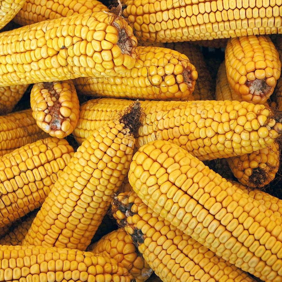 dried-corn-cobs-leeann-mclane-goetz.jpg