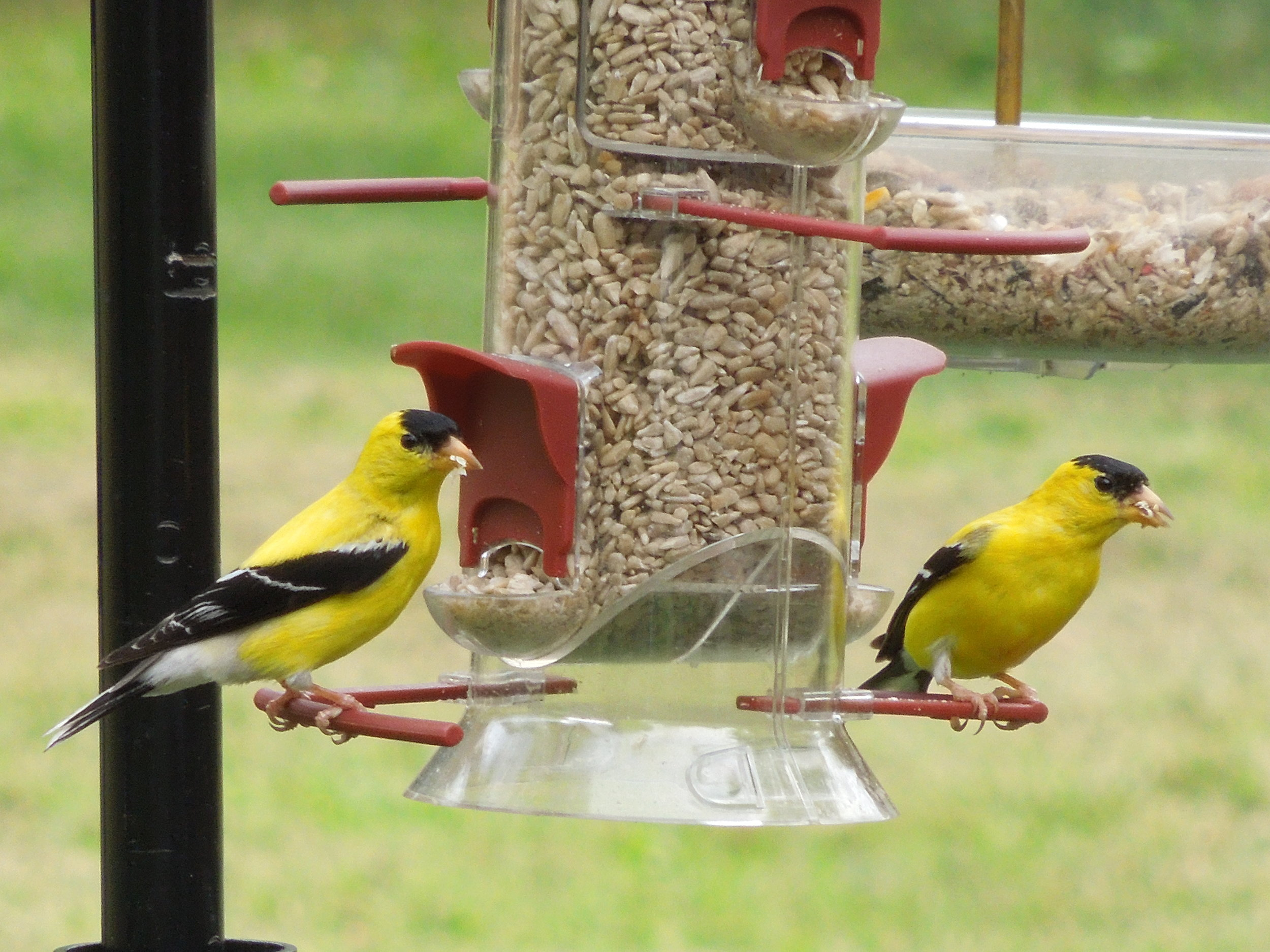American Goldfinch. Photo by Heather W.