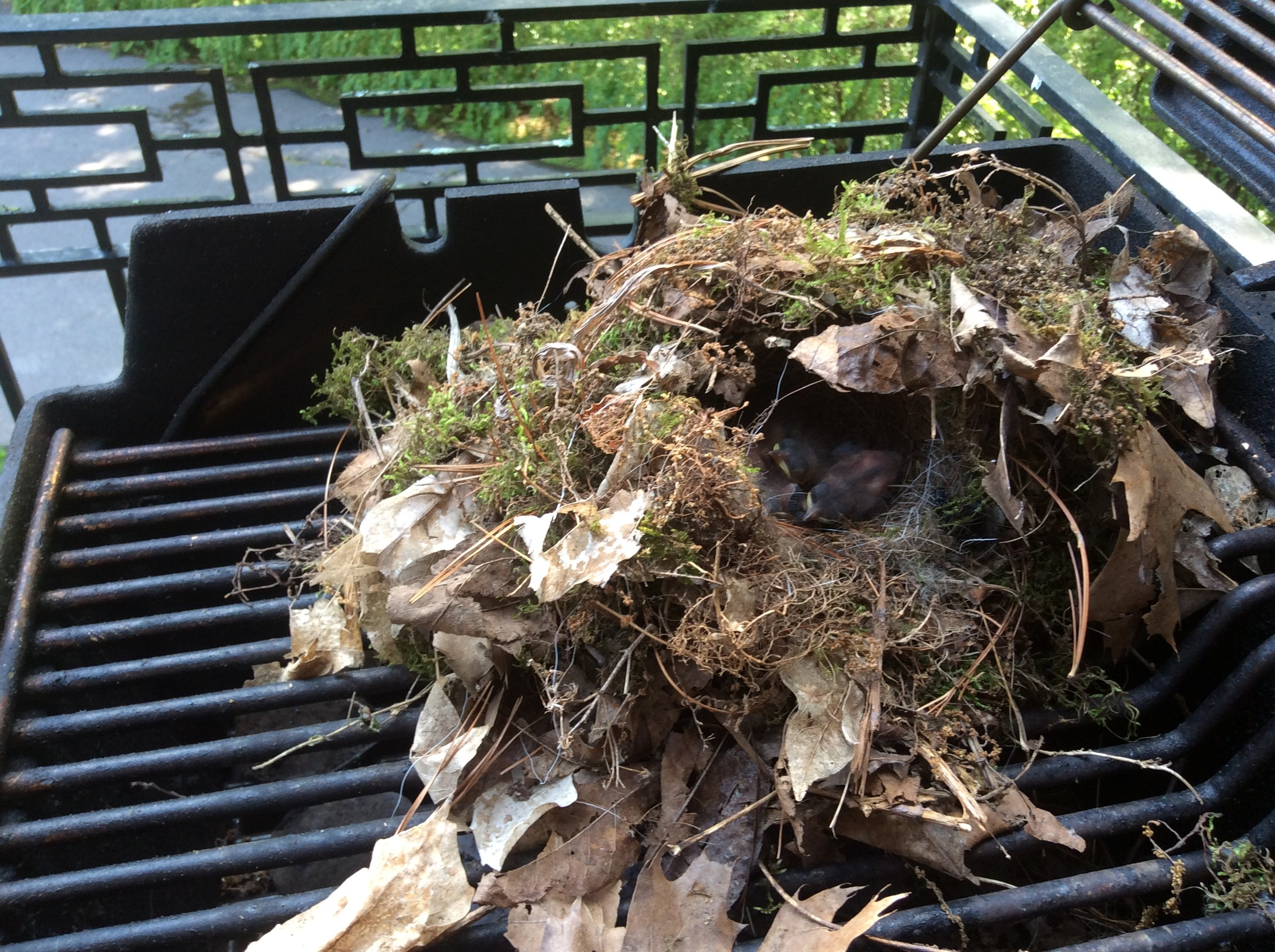 Carolina Wren nest in BBQ grill by Shelley Page