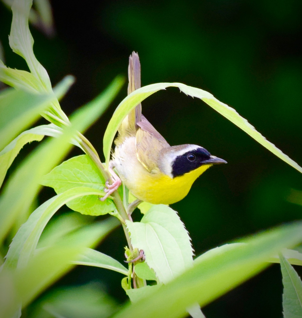 Common Yellow Throat. Photo By Eli H.