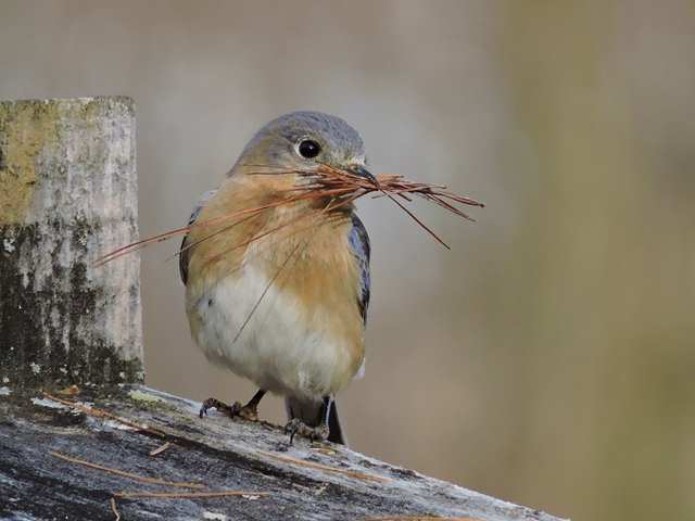 Female Eastern Bluebird.