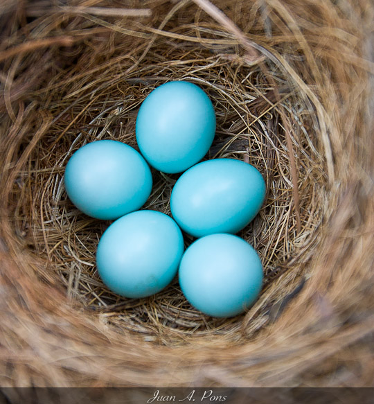 Bluebirds usually lay four to six eggs. They can range anywhere from off white to light blue to this bright turquoise.