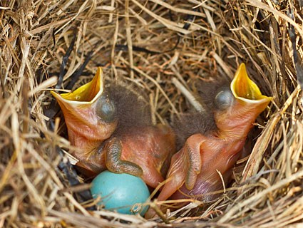 Just hatched Bluebirds.