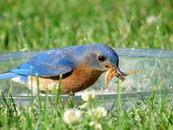 Male bluebird getting as many worms as he can.