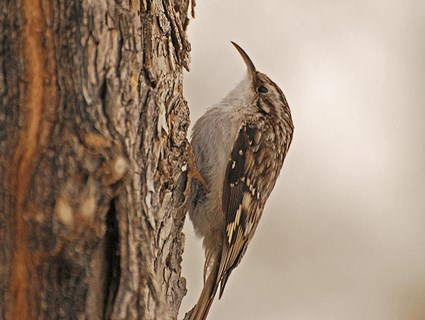 brown_creeper_1.jpg