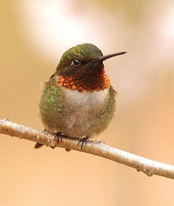 ruby_throated_hummingbird_1 (1).jpg