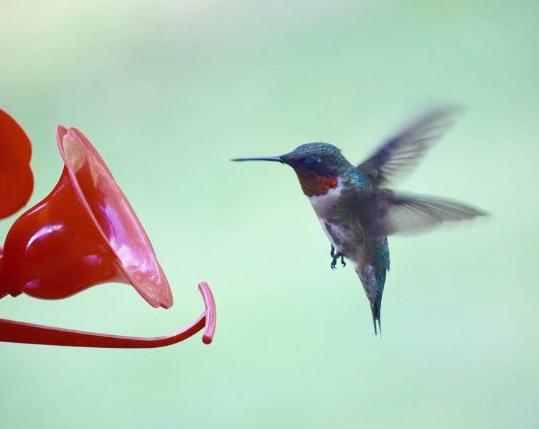 Male Ruby-thoated Hummingbird.