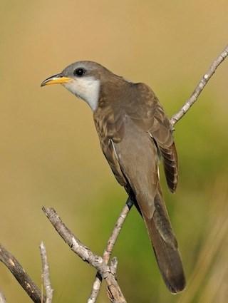 yellow billed cuckoo2.jpg