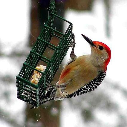 red_bellied_woodpecker_6.jpg