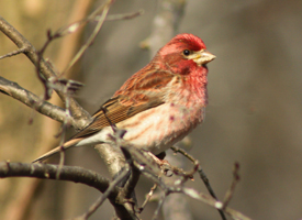 Purple Finch