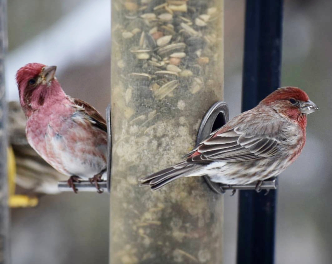 Purple Finch on the left. House Finch on the right.