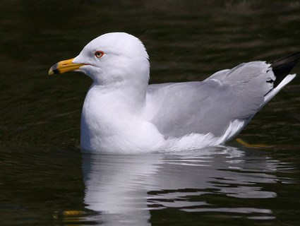 Adult Ring-billed Gull