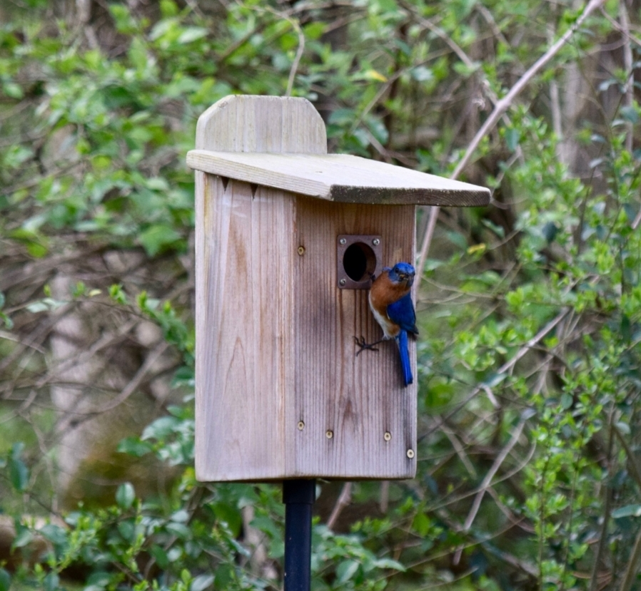 Male Bluebird. Photo by Eli.