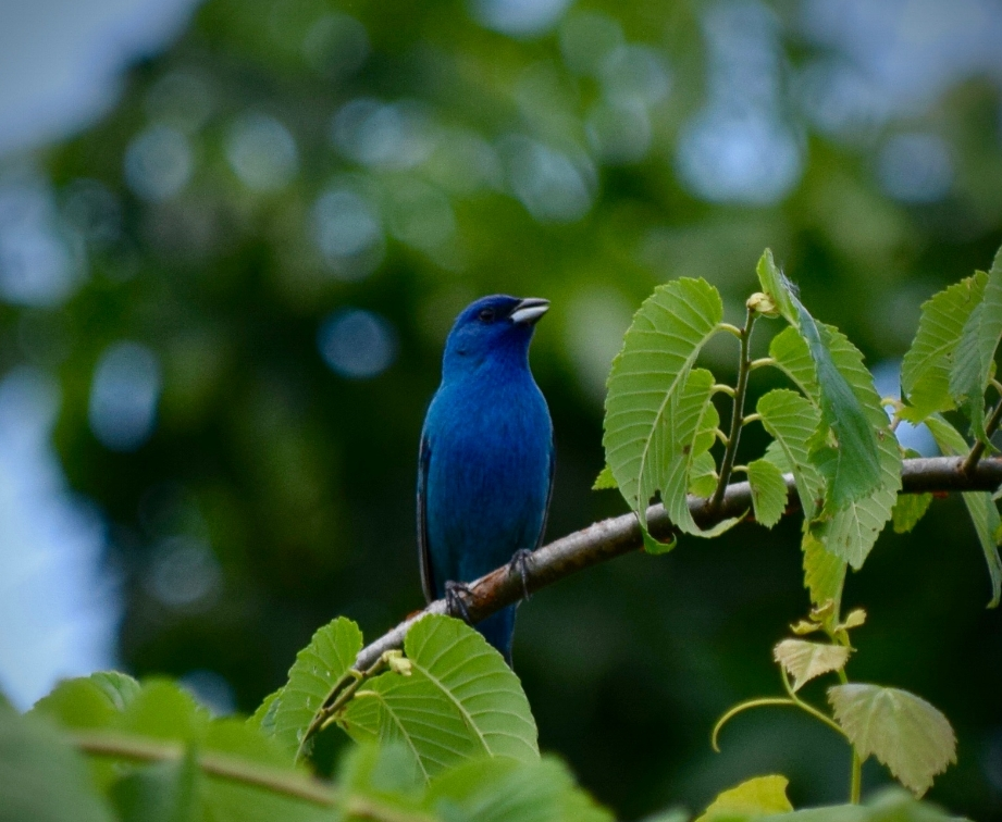 Indigo Bunting. Photo by Eli.